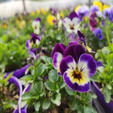 Violas (tray of 18)