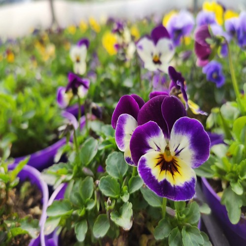 Violas (tray of 18)